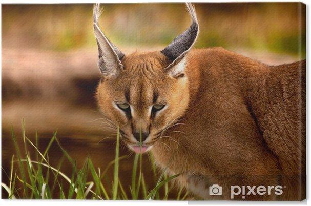 Obraz na płótnie Zwierzę - Karakal (Caracal caracal caracal) - Ssaki