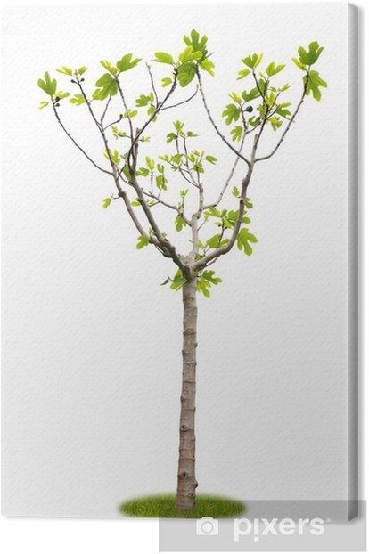 Obraz na płótnie Zwolnione z młodych owoców drzewa figowego - Pory roku