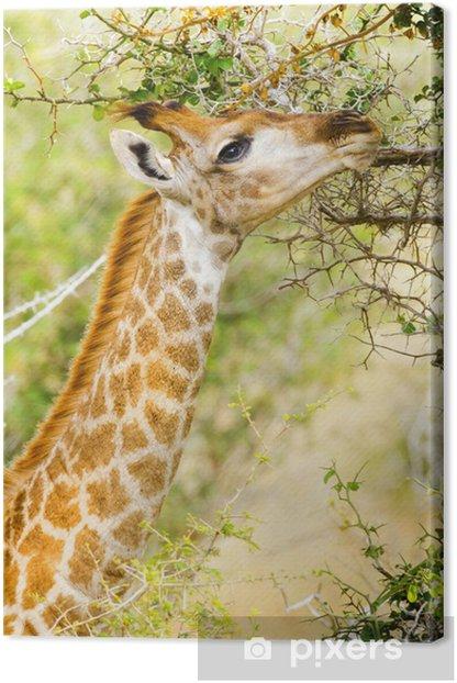 Obraz na płótnie Żyrafa. Kruger National Park, Republika Południowej Afryki - Tematy