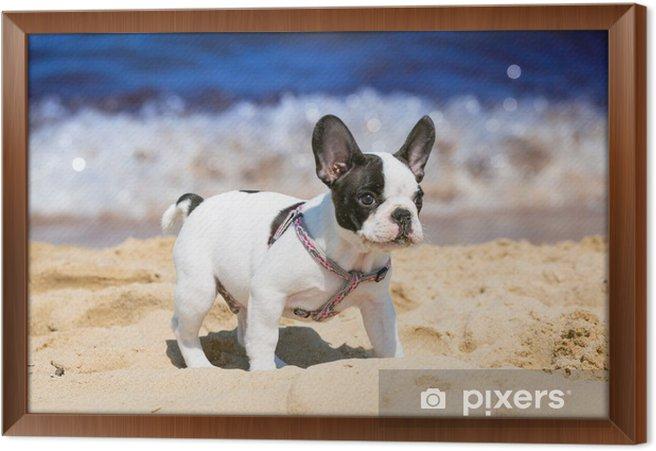 Obraz na płótnie w ramie Buldog francuski puppy gry na plaży - Buldogi francuskie