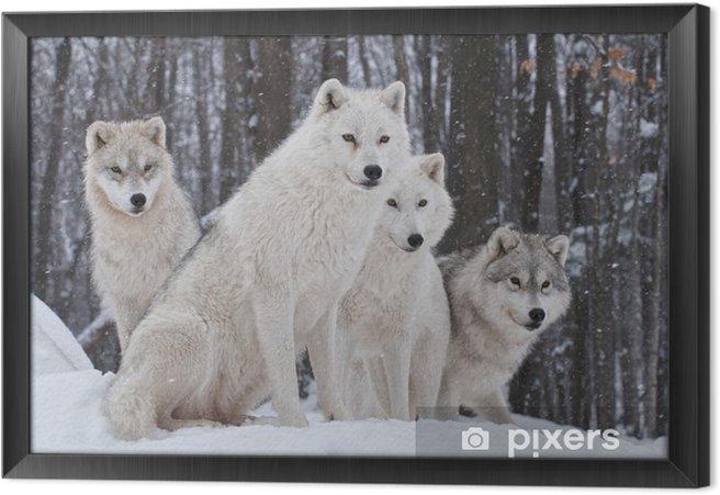 Obraz na płótnie w ramie Pakiet wilk arktyczny - Wilki