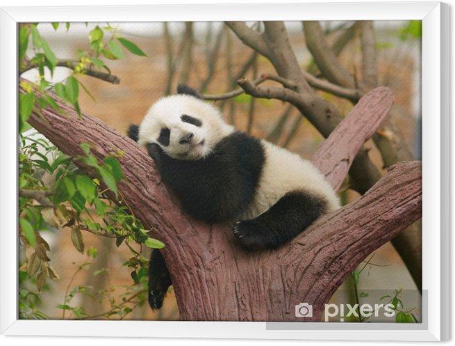 Obraz na płótnie w ramie Panda dziecko śpi - Pandy