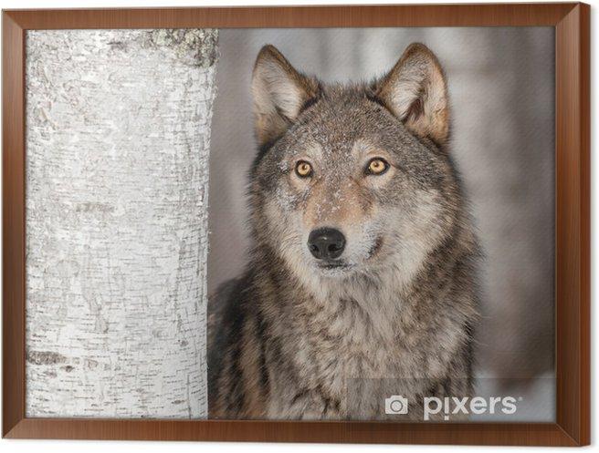 Obraz na płótnie w ramie Szary Wilk (Canis lupus) Wyszukuje -