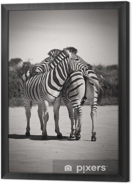 Obraz na płótnie w ramie Zebra miłość - Zebry