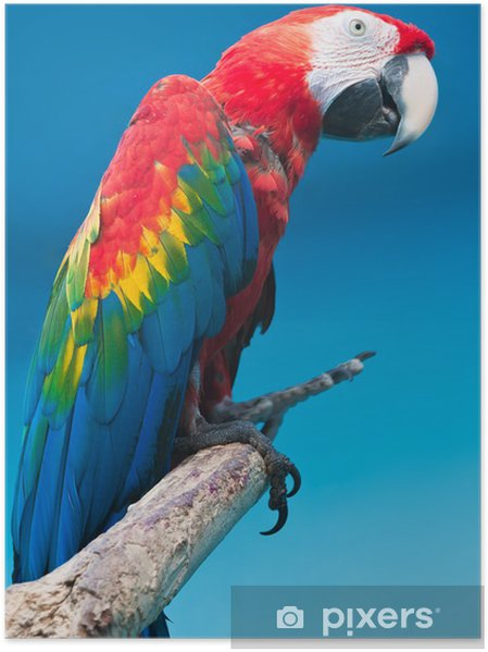 suche nach neuestem mehr Fotos angemessener Preis Plakat Ara papegøye