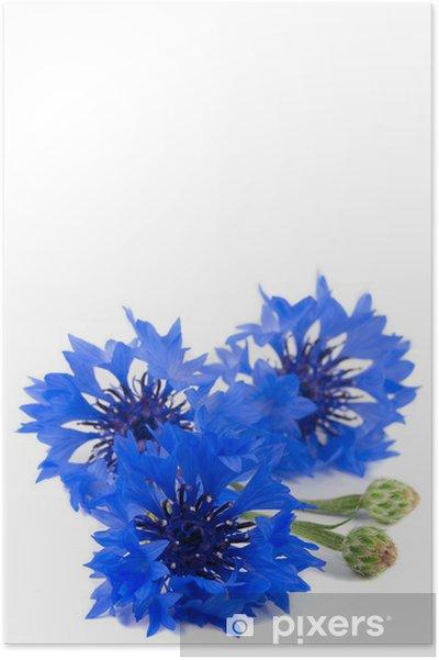961c52c129c Lille buket af vilde levende store blå blomster af kornblomst Plakat ...