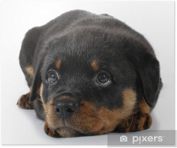 Rørig Lille Rottweiler hvalp hund ligger ned Plakat • Pixers® - Vi lever WC-25