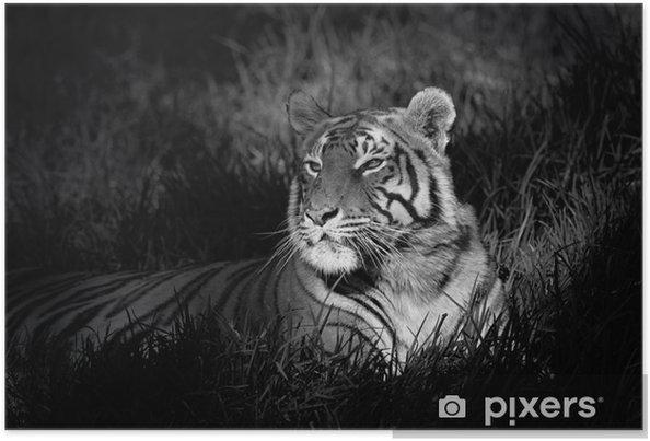 Plakat Monokrom bilde av en bengal tiger -
