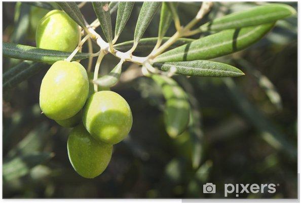 4c928aeba Plakat Oliven på en gren