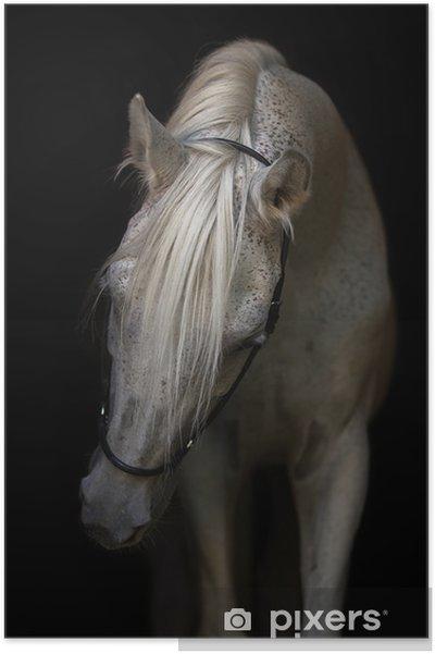 Plakat Portrett av en arabisk hest på hvit bakgrunn. - Dyr