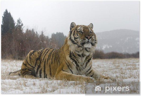 Plakat Sibirisk tiger, Panthera tigris altaica -