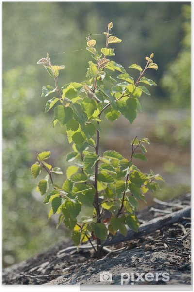 Plakát Молодое деревце над обрывом. - Lesy