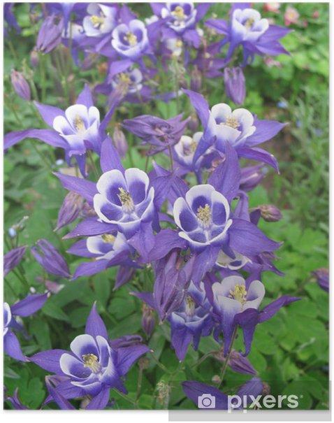 Plakát Akelei Lila - Květiny
