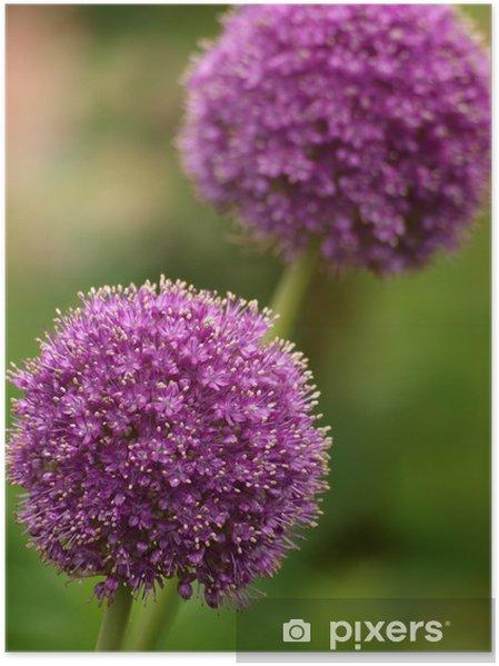 Plakát Allium - Květiny