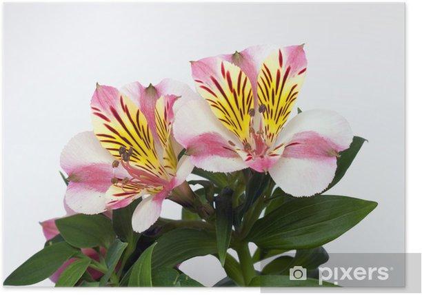 Plakat Alstroemerie - Kwiaty