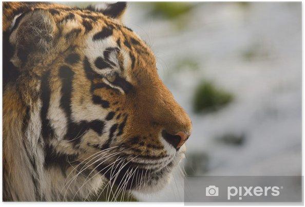 Plakát Amur Tiger (sibiřský tygr) zblízka - Témata