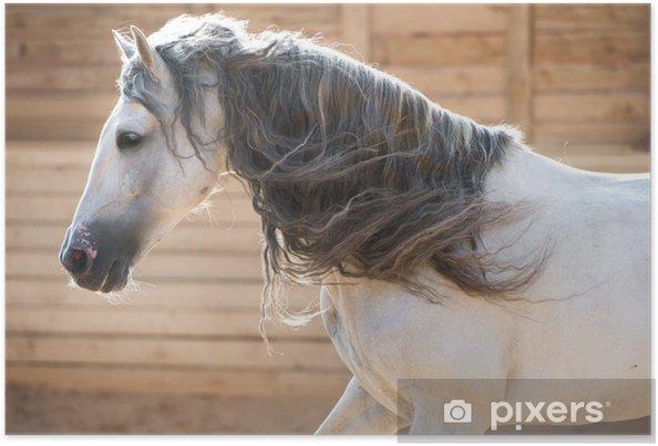 Plakát Andaluský bílý kůň portrét v pohybu v interiéru - Individuální sporty