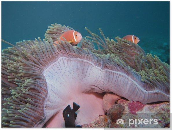 Plakat Anemone ryb (Malediwy endemicznych gatunków) - Zwierzęta żyjące pod wodą
