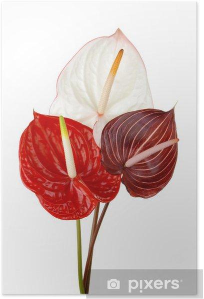 Plakat Anthurium 4 - Kwiaty