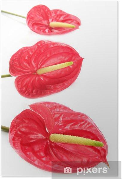Plakát Anthurium exotický krásný červený květ stále - Květiny