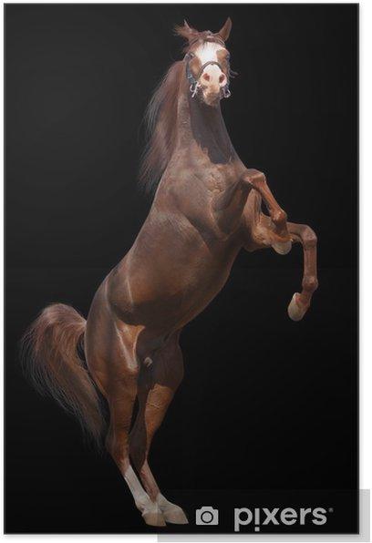 Plakat Arab koń samodzielnie - Ssaki