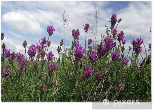 Plakat Astragalus step - Kwiaty