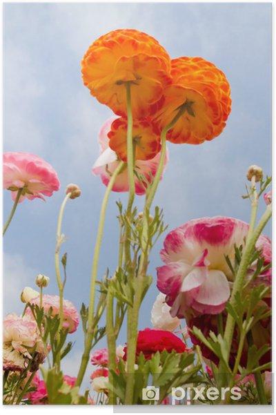 Plakat Azjatycki Ranunculus flowers - Kwiaty