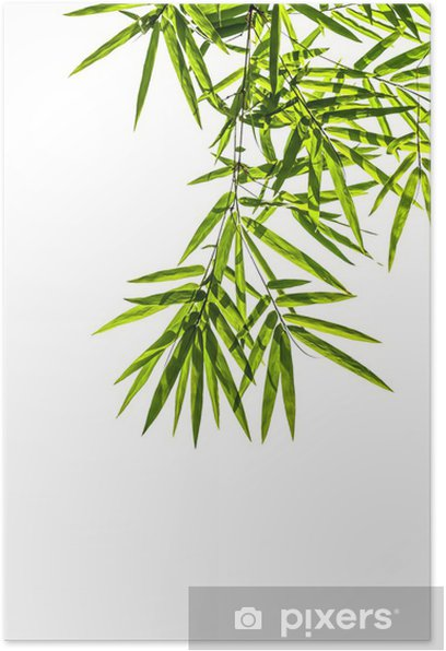 Plakat Bambus liści samodzielnie na białym tle, clipping path includ - Dom i ogród
