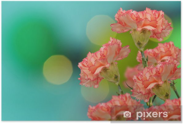 Plakát Barevné růžové karafiátů na bokeh pozadí - Květiny