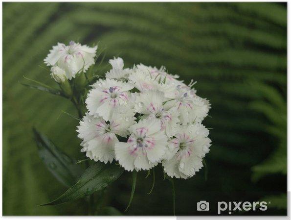 Plakát Bartnelke / Dianthus barbatus - Květiny