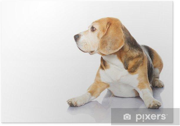 Plakát Beagle pes izolovaných na bílém pozadí - Savci