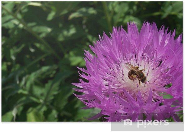 Plakat Bee zapylających purpurowy kwiat - Kwiaty