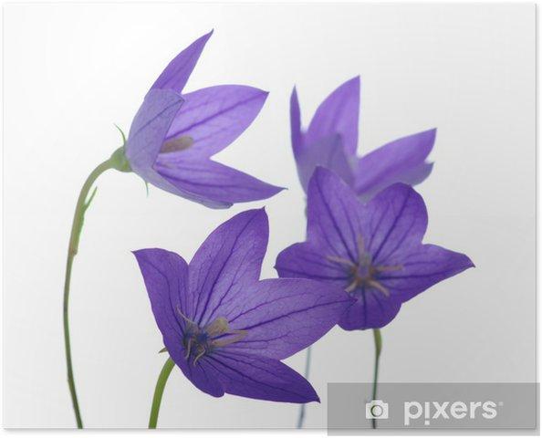 Plakát Bellflower - Květiny