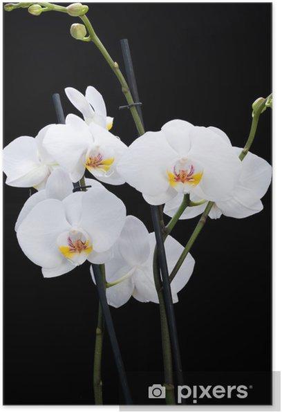 Plakat Biała orchidea samodzielnie na czarnym - Tematy