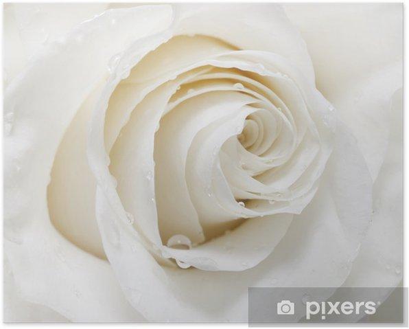 Plakat Biała róża - iStaging