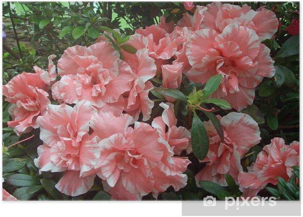 Plakat Biało-różowe kamelie - Kwiaty