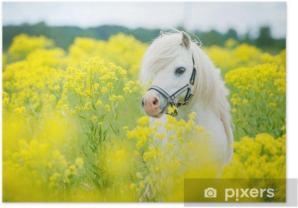 Plakat Biały kucyk szetlandzki na polu z żółtych kwiatów - Ssaki