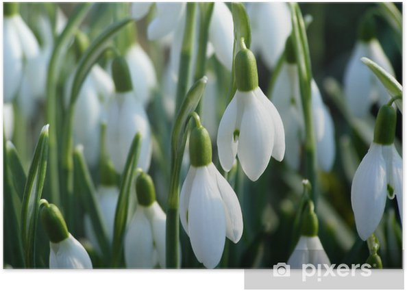Plakat Biały przebiśnieg - Kwiaty