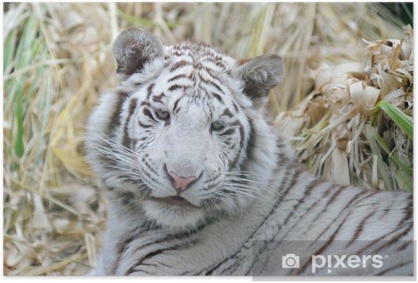 Plakat Biały tygrys wygląda młodo - Ssaki