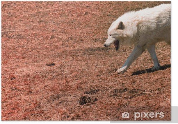 Plakat Biały wilk - Ssaki