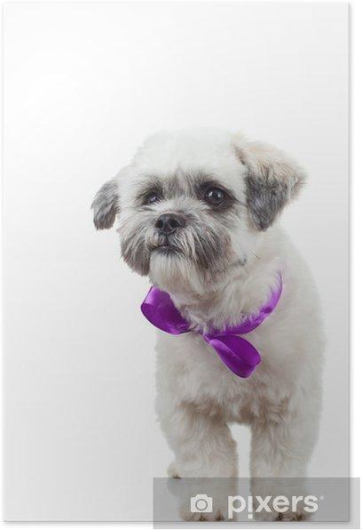 Plakát Bichon Havanese štěně na sobě fialovou stužku - Savci
