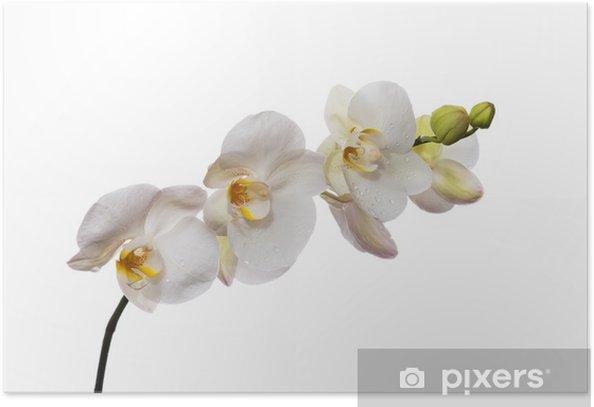 Plakát Bílá orchidej na bílém pozadí. - Nálepka na stěny