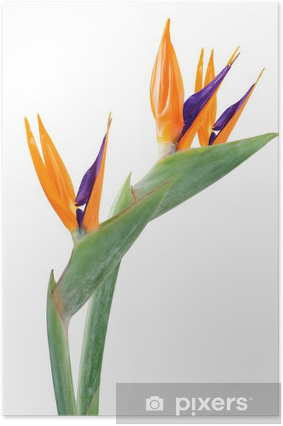 Plakát Bird of paradise květiny - Květiny