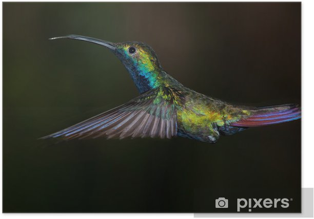 Plakat Black-throated Mango koliber, nigricollis Anthracothorax. - Ptaki