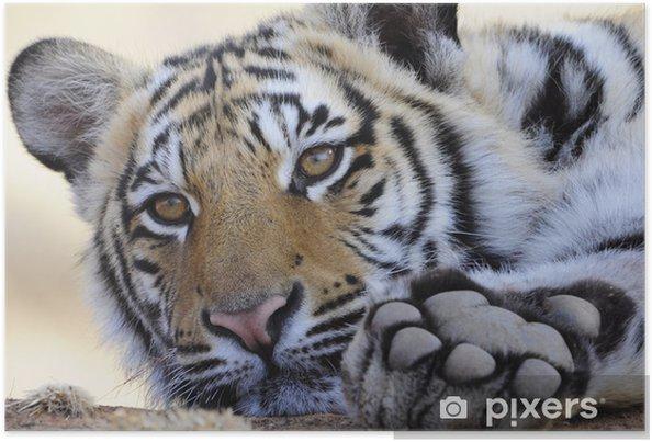 Plakat Bliska portret strzał Tygrys bengalski - Tematy