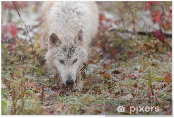 Plakat Blondynka Wilk (Canis lupus) Łodygi Przekaż Przez Traw - Pory roku