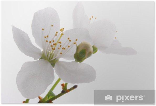 Plakat Bloomer_ białe kwiaty jabłoni - Jabłonie