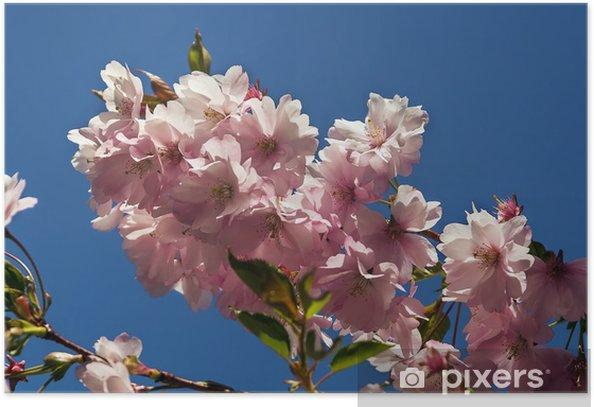 Plakat Blooming Sakura - Kwiaty