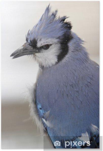 Plakat Blue jay zbliżenie w śniegu - Ptaki