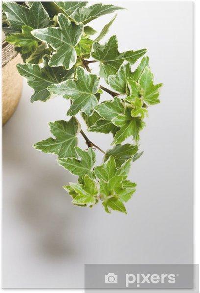 Plakat Bluszcz - Rośliny